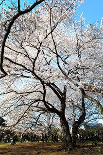 sakura_052.jpg